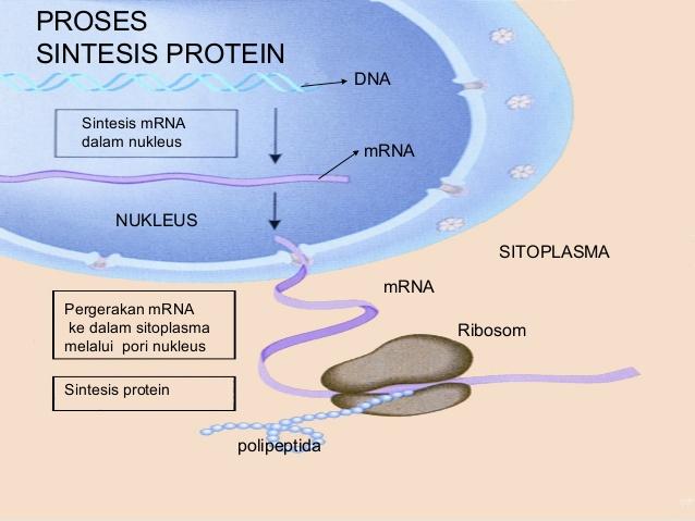 sintesis protein pdf
