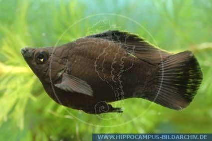 Dunia Ikan Hias - Black Baloon Molly