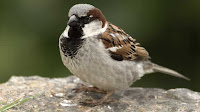Sparrow bird pictures_Ploceidae Passer