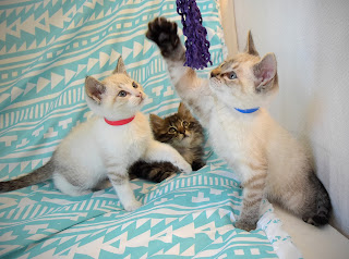kittens playing with toy