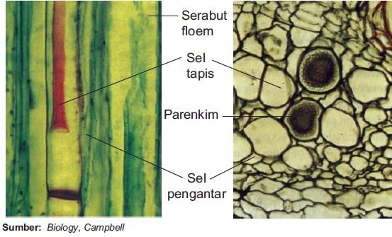 Struktur Dan Fungsi Jaringan Xilem Dan Floem Pada Tumbuhan