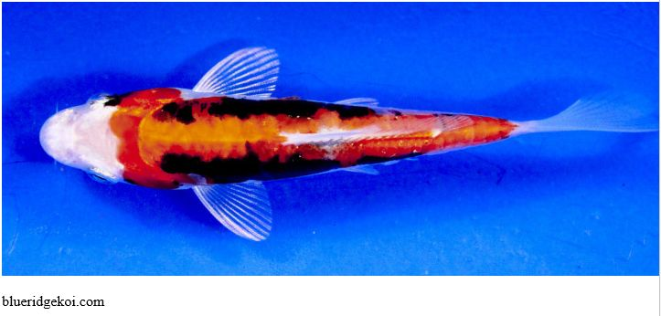Gambar Ikan Koi Kumonryu Beni