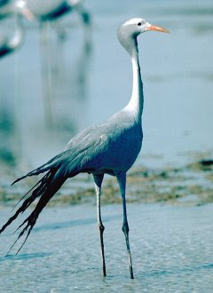 Blue Crane Bird Facts And Pictures All Wildlife Photographs