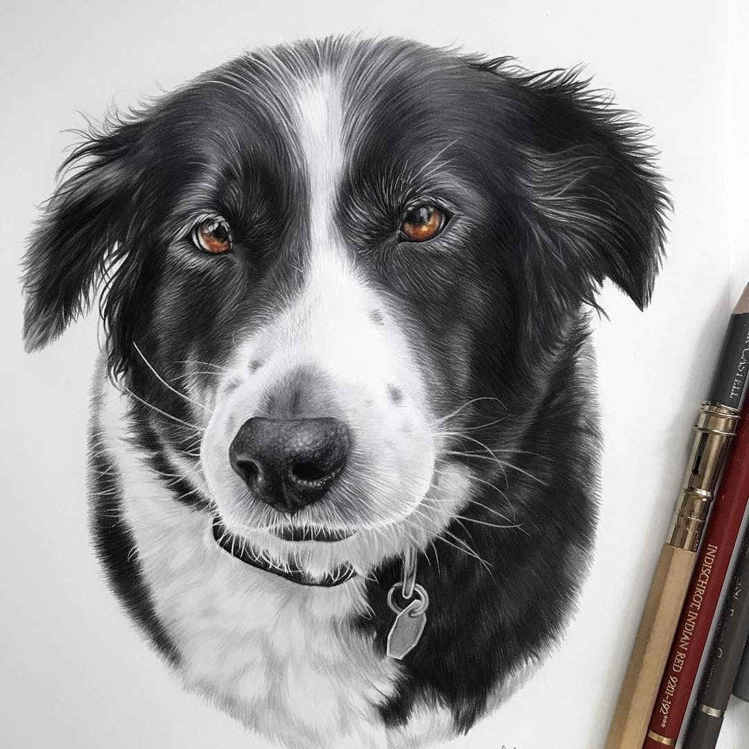 07-Border-Collie-Kelly-Lahar-Our-Furry-Companions-in-Animal-Drawings-www-designstack-co