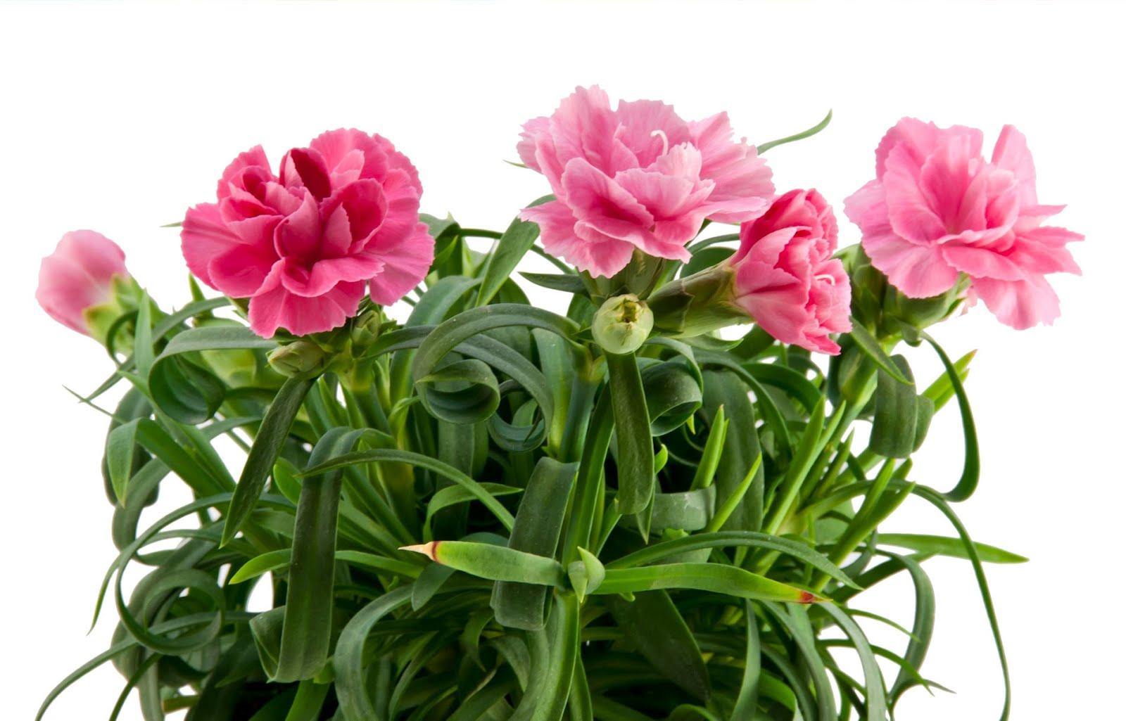 Idool Arreglo Floral De Claveles Color Rosa Rose Carnation