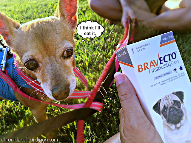 Chihuahua eyeing a box of Bravecto