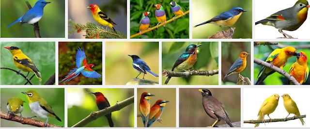 Download Kumpulan Kicau Burung Mp3 Paling Lengkap