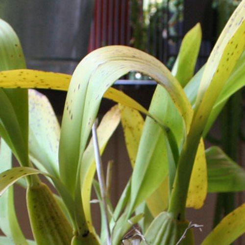 Sağlıksız orkide yaprakları