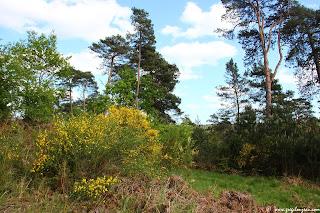 Genêt à balais (Cytisus scoparius), (C) greg Clouzeau