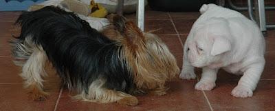 cachorro bulldog ingles en valencia
