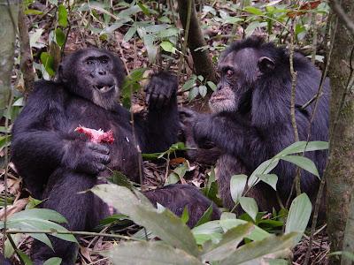 """Cena de """"Chimpanzés Guerreiros de Uganda"""" - Divulgação"""
