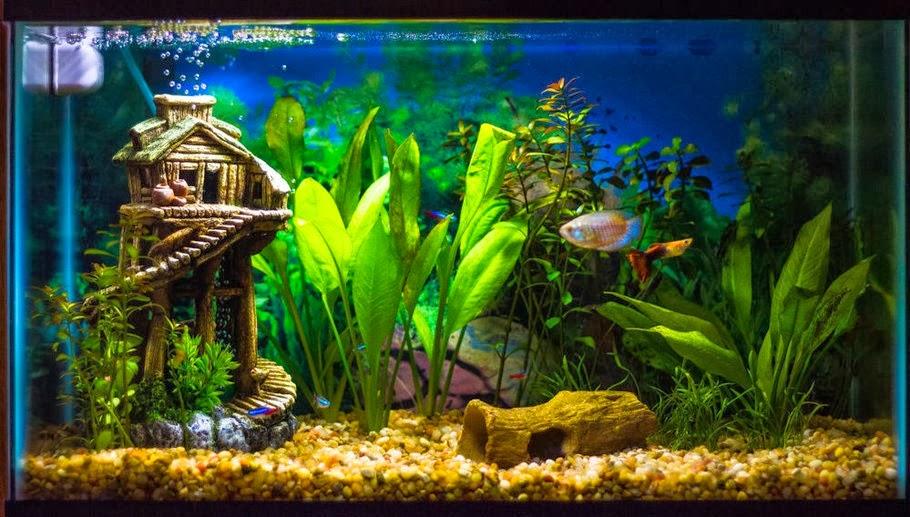 La nouvelle aquariophilie bien d marrer un aquarium d for Poisson aquarium douce