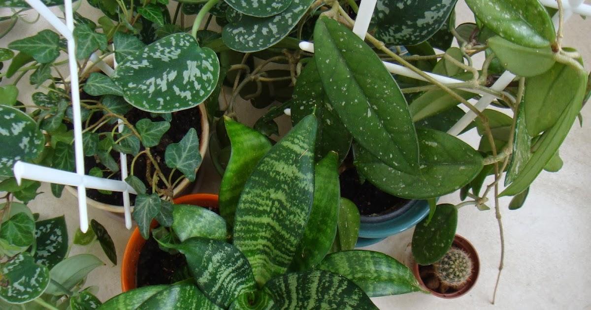 растение мужегон фото алены много увлечений