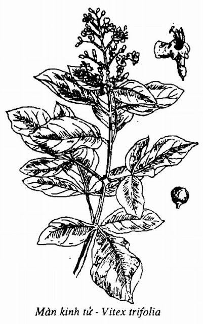 Hình vẽ Màn Kinh Tử - Vitex trifolia - Nguyên liệu làm thuốc Chữa Cảm Sốt