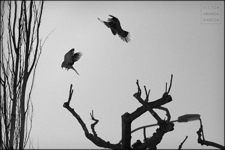 fotografía, naturaleza, tórtolas, ramas