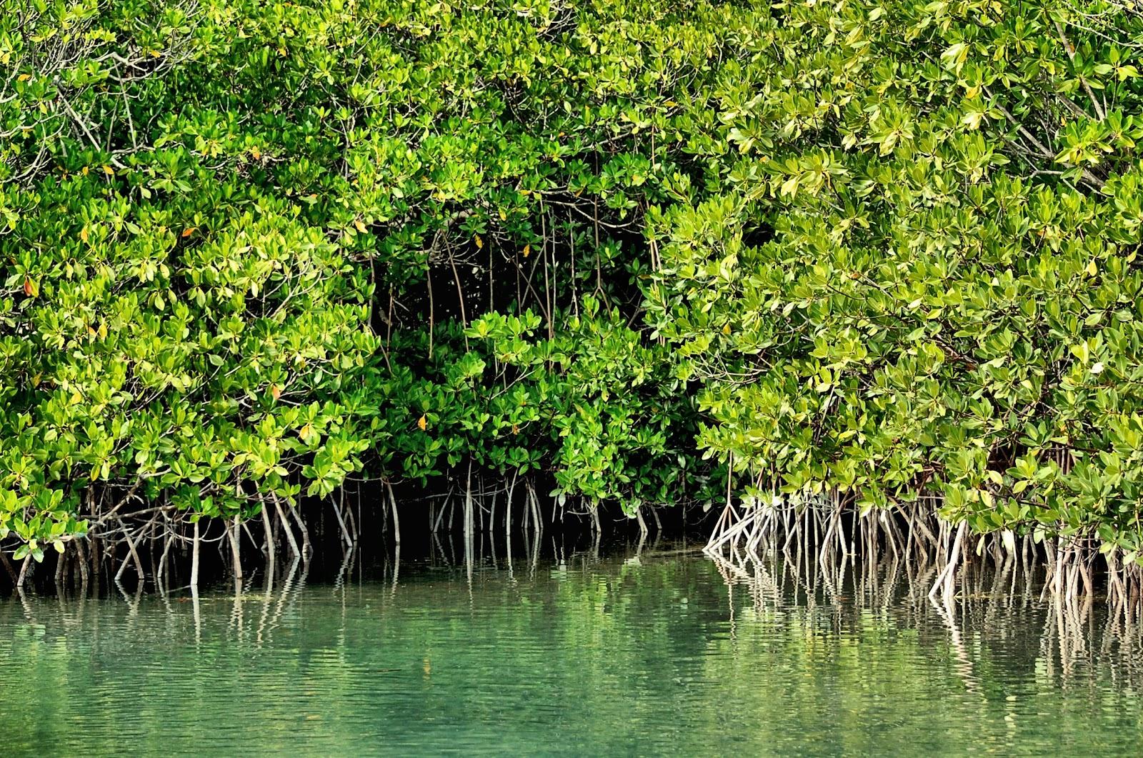Tiny 2 Bahama Bob S Rumstyles Mangroves The Ecosystem
