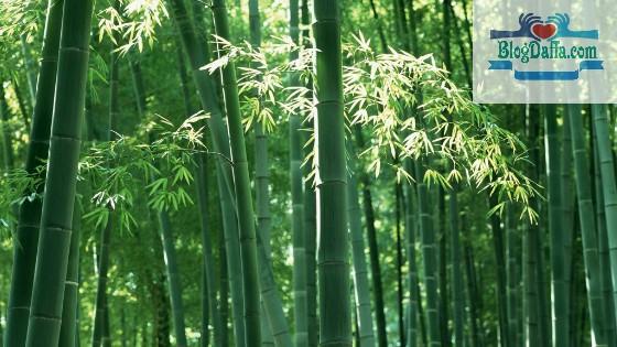 Jenis tanaman Bambu Hias Siam