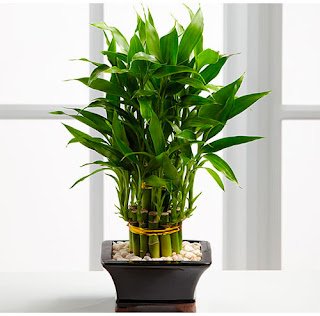 Dracaena-House-Plants