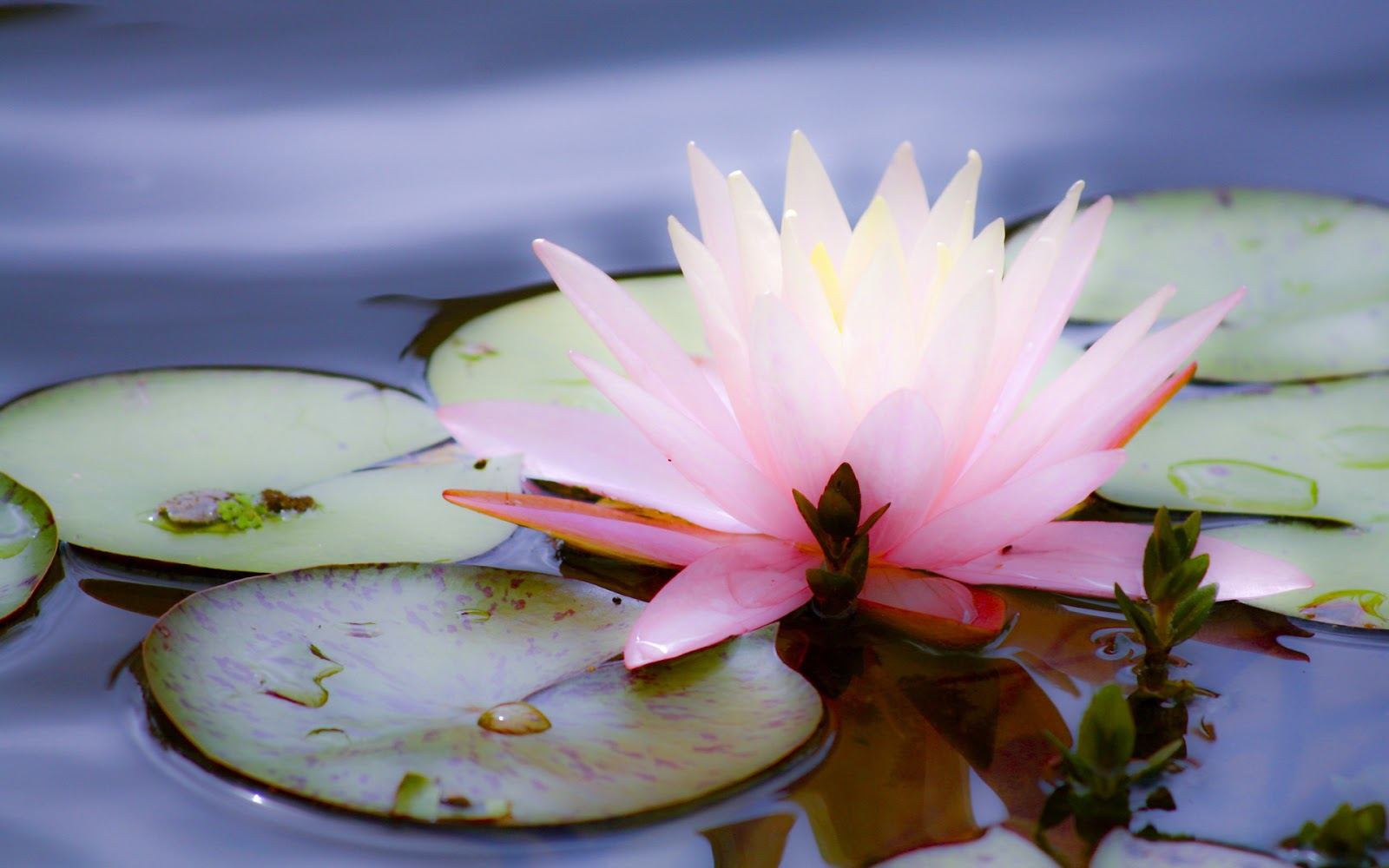 Beautiful Wallpapers: Lotus wallpapers HD