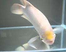 Jenis Ikan Hias Air Tawar Gurami Padang