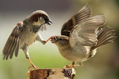Điều thú vị về chim sẻ