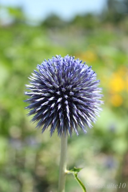 close up of a globe thistle