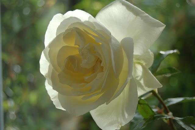 Rosa 'Silver Anniversary'