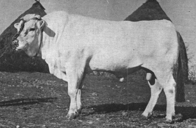 Donetto, the world's heaviest Chianina bull (1740 kg) in 1955. Wikipedia Commons