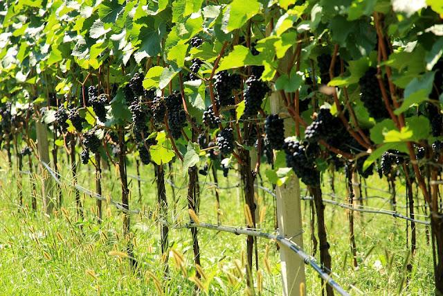 viticoltura, vigneto, uva