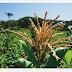 843 agricultores do município de Macajuba receberão a 2ª parcela do Programa Garantia-Safra