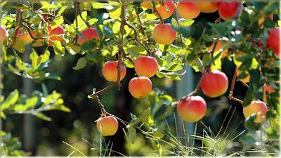 gambar pohon buah apel