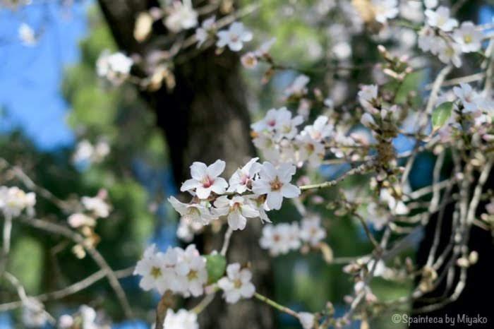 マドリードのレティーロ公園に咲く桜のようなアーモンドの花