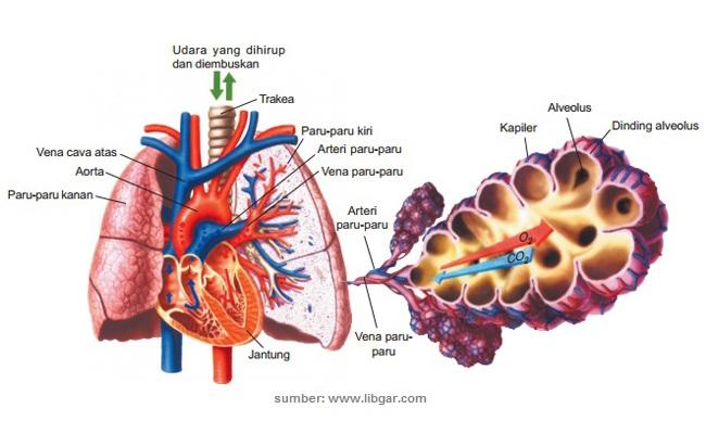 Gambar Organ-organ Pernapasan Manusia