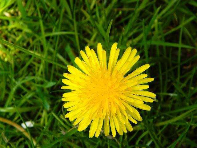 Dandelion, Yellow Flower,