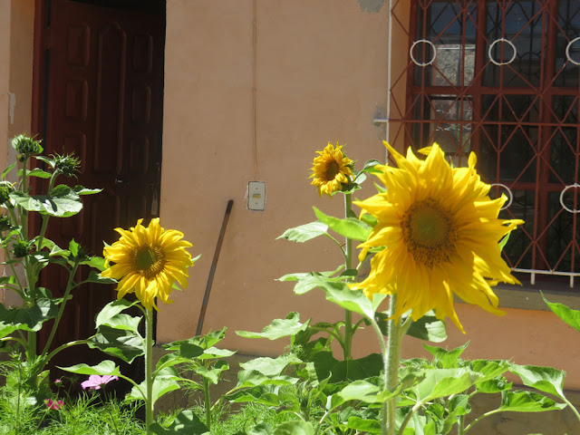 Sonnenblumen im Pfarrgarten