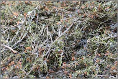 Ramas secas de romero preparadas para su conservación
