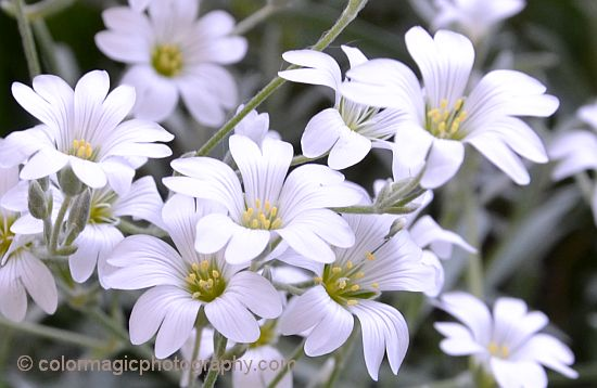Snow-in-Summer flower closeup - Cerastium tomentosum