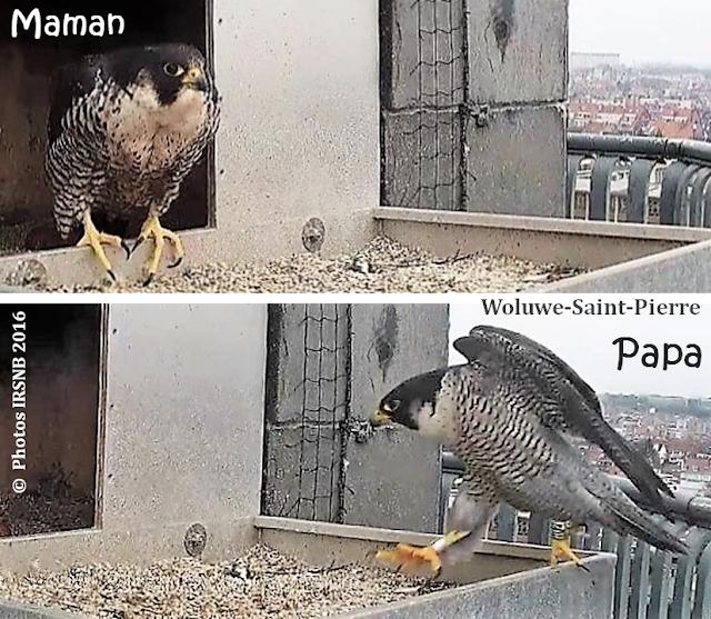 Faucons Pèlerins à Bruxelles - Naissance de fauconneaux à la Maison communale de Woluwe-Saint-Pierre - Bruxelles-Bruxellons