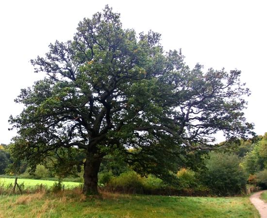 Photograph of A 200-year-old oak (approx) to the east of the path leading to Gobions Wood Image by North Mymms History Project released under Creative Commons BY-NC-SA 4.0