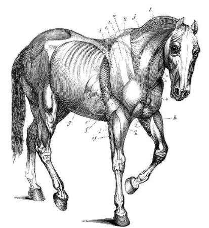 equinos-anatomy-vetarq