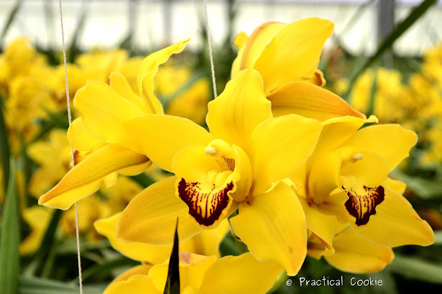 Yellow  orchids at Duckitt Nurseries