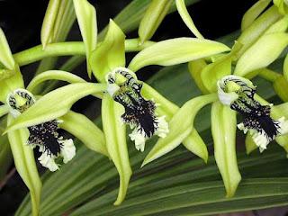 Gambar Bunga Anggrek Hitam (Black Orchid Flowers) 5000