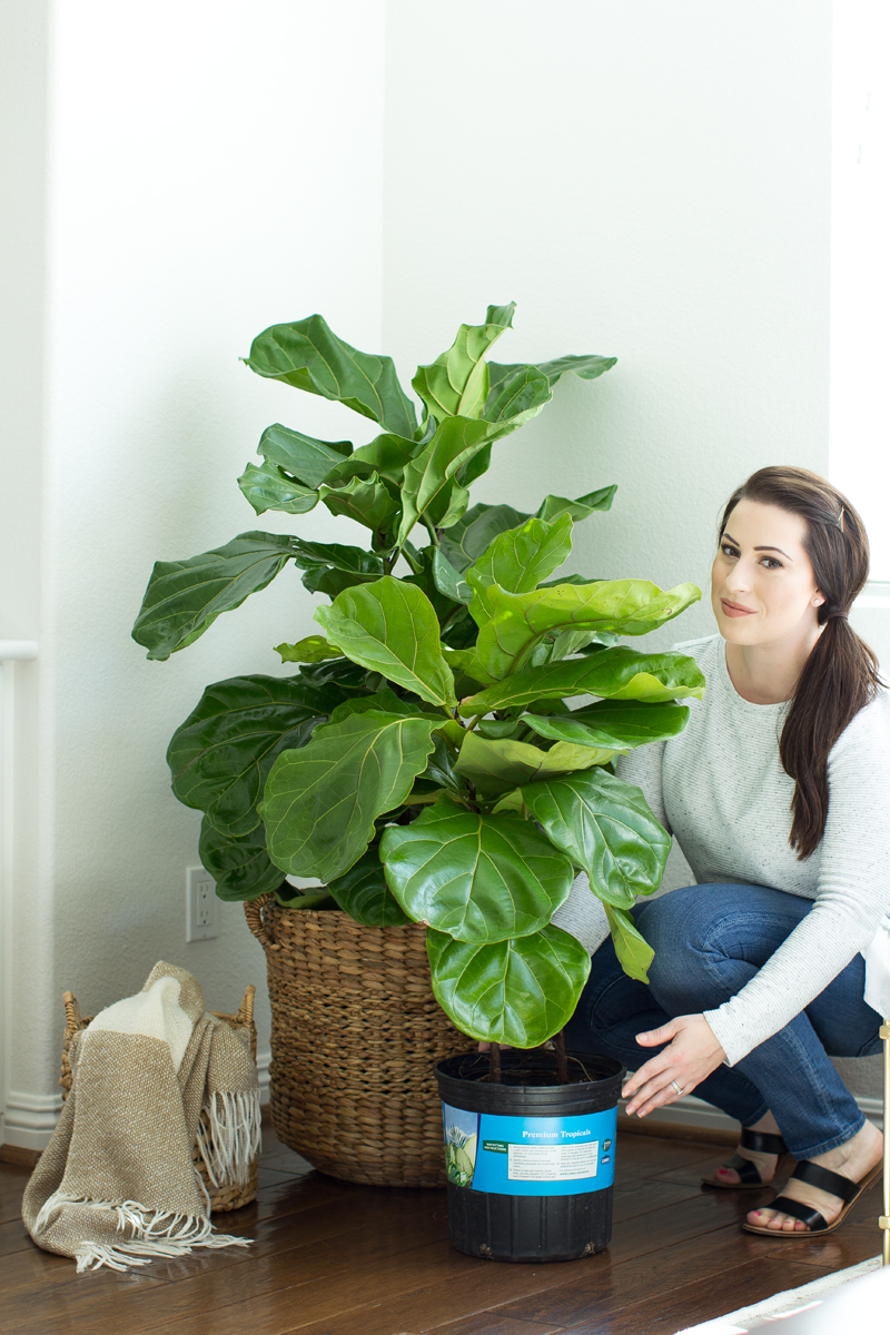 how to keep your fiddle leaf fig tree alive, how to care for a fiddle leaf fig tree, where to buy a fiddle leaf fig tree