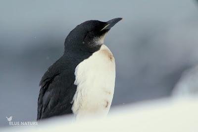 Arao de Brünnich - Brünnich guillemot - Uria lomvia. Ejemplar adulto con plumaje de invierno. La garganta se va oscureciendo con el plumaje estival hasta ser completamente negra. La línea clara de la base del pico es la marca diagnóstica para separarlo del arao común.