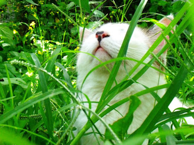 Cat in Grass Funny Standard Resolution HD Wallpaper