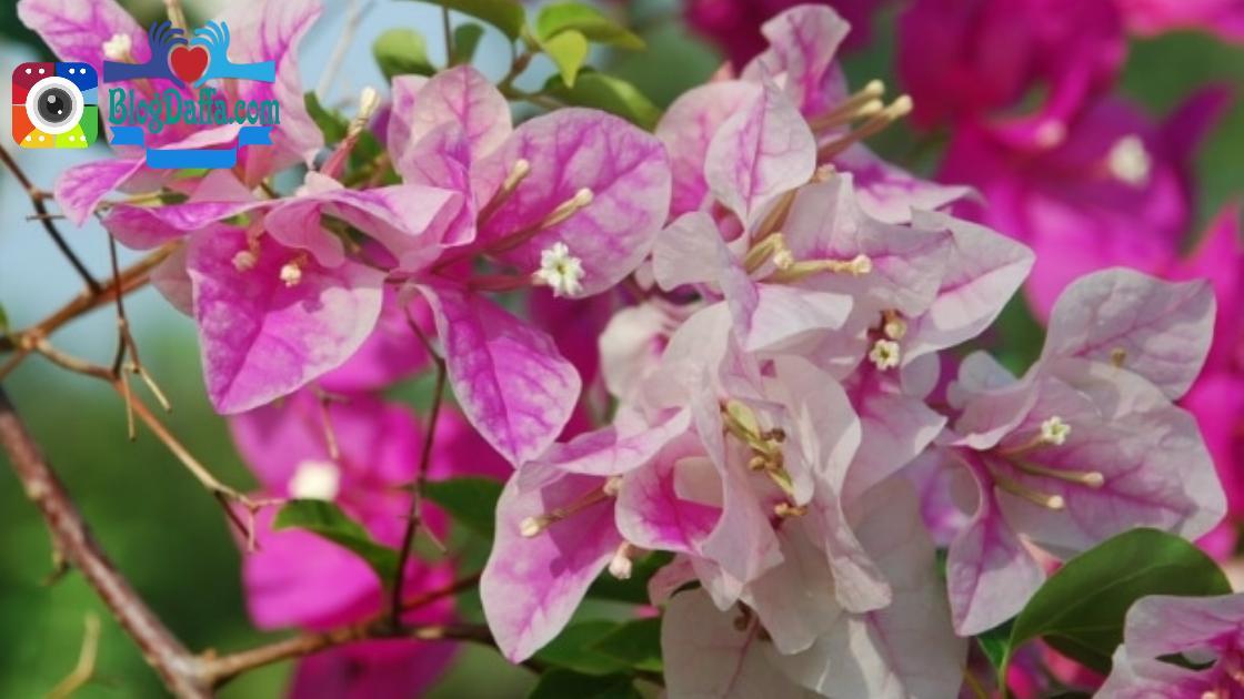 Tanaman Bunga Kertas (Bougenville) outdoor