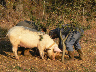 https://commons.wikimedia.org/wiki/File:Cochon_truffier.JPG