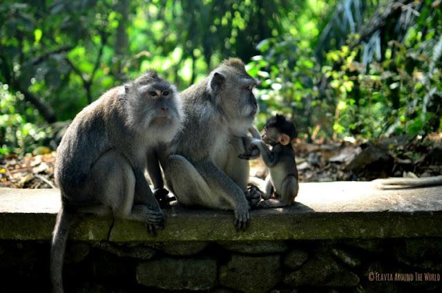 Familia monos Monkey Forest Ubud