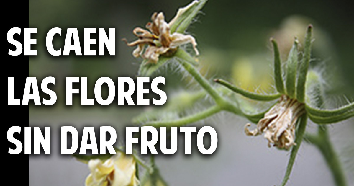 Por que se caen las flores del tomate? Y Soluciones - Cosas del Jardin