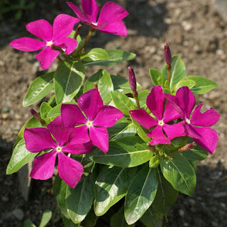 Catharanthus roseus 'Pacifica Deep Orchid' - Pervenche de Madagascar